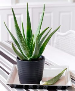 Aloe vera helps you sleep